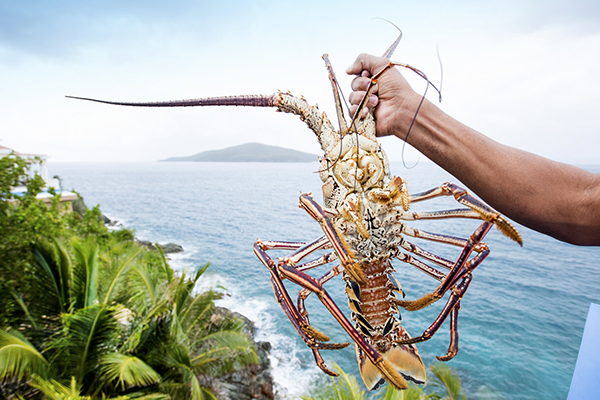 Caribbean Lobster Season